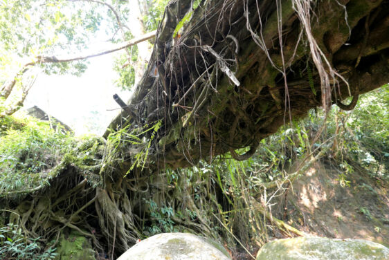 Living Root Bridges of Nagaland India – Nyahnyu Village Mon District