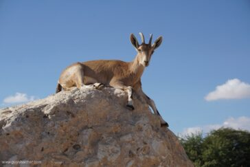 Negev Desert / Afternoon in the Nubian ibex human domain