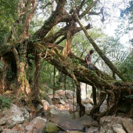 Living Root Bridges and Structures of North-East India Explained